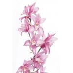 Розовые орхидеи #5